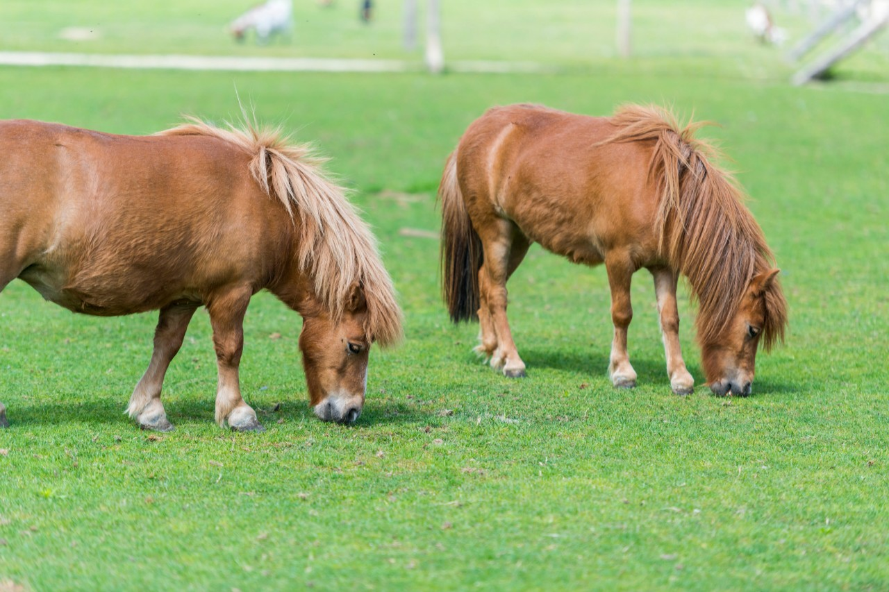 pony's in de brielmeersen