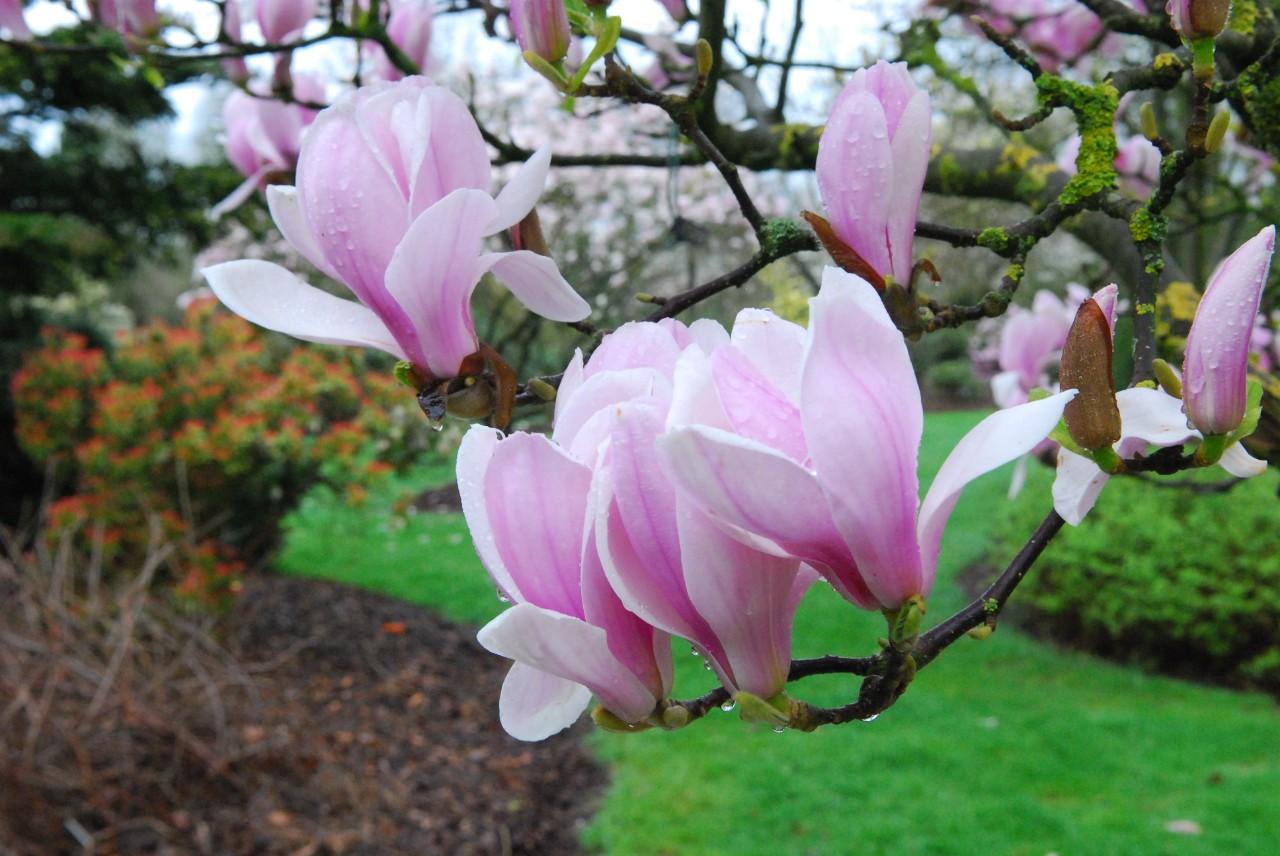 Magnolia het leen